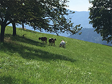 斜面の牧草を刈るのに、ヤギを使った。