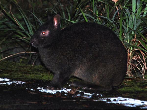 アマミノクロウサギの画像 p1_15